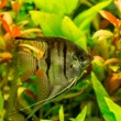 Tropical fish  pterophyllum scalare — Stock Photo #69333609
