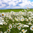 Blossoming summer meadow with flowers of camomiles — Stock Photo #65109779