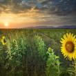 Beautiful land scape sun set with yellow sunflowers blooming in — Stock Photo #61170849