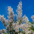 Lilac bush with pale pink flowers — Stock Photo #70052019