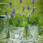 Pots Of Lavender — Stock Photo #65310623