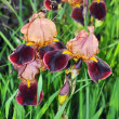 Several iris flowers of unusual color on a background of green grass. — Stock Photo #57347477