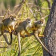 Common squirrel monkeys on a tree branch — Stock Photo #74563321