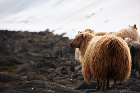 Icelandic sheep with thick fluffy wool