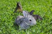 在綠色的草坪上的小灰兔子