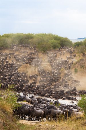 Crossing to the other side of Mara river. Masai Mara, Kenya