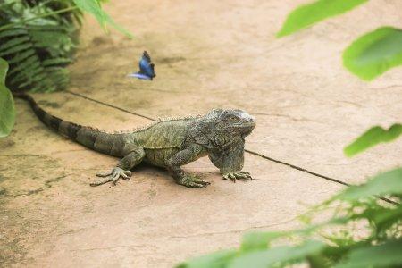 可爱的鬣蜥佛得角