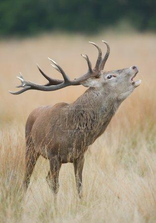 Red deer male rutting